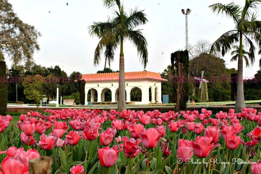 tulips in lahore (3).jpg